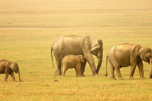 Elefantes de la India