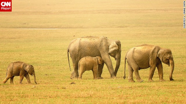 <a href='http://ireport.cnn.com/docs/DOC-768765'>Elephants</a> graze on the savannas of India.