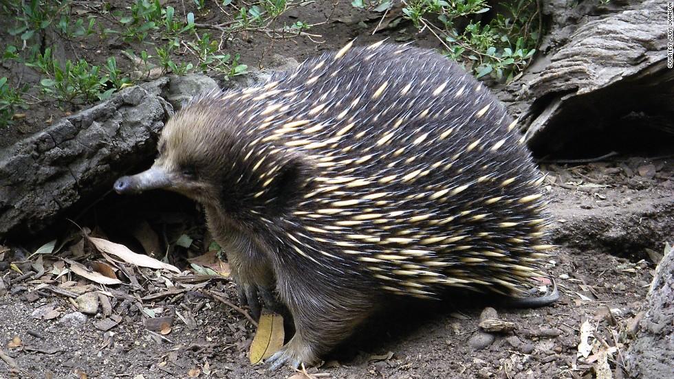 Equidna de hocico largo (Papúa Nueva Guinea)