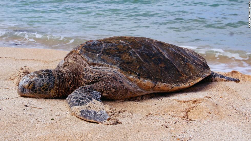 Tortuga marina verde (Islas Caimán)