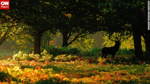 A majestic <a href='http://ireport.cnn.com/docs/DOC-864609'>stag</a> pauses amongst the autumn leaves in London's Richmond Park.