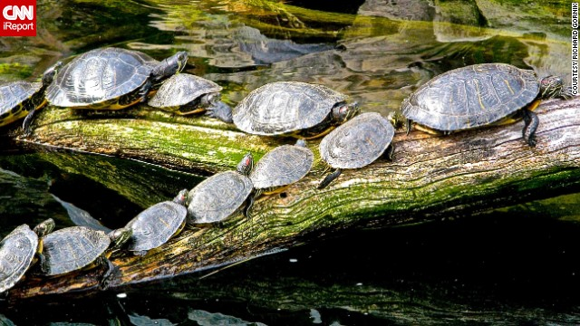 <a href='http://ireport.cnn.com/docs/DOC-1121720'>Turtles</a> in Washington, D.C., follow the leader to catch some sun.