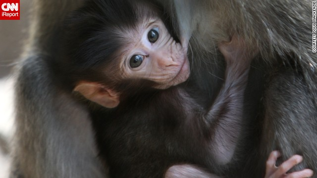 A baby <a href='http://ireport.cnn.com/docs/DOC-1121841'>monkey</a> nurses in Lombok, Indonesia.