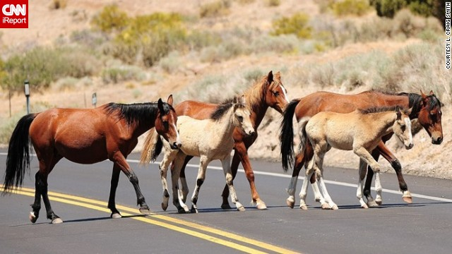 Feral <a href='http://ireport.cnn.com/docs/DOC-811225'>horses</a> cross a road near Reno, Nevada.