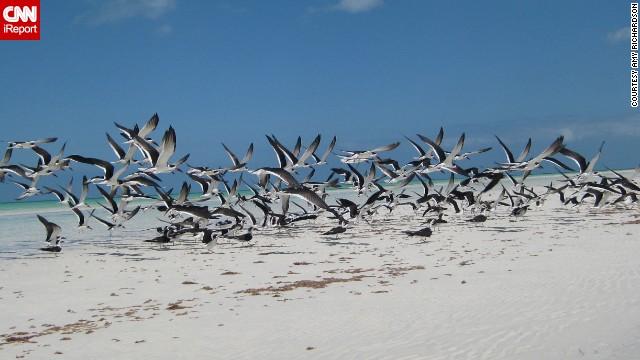 <a href='http://ireport.cnn.com/docs/DOC-986080'>Black skimmers</a> take off from a sandbar in Isla Holbox, Mexico. This image was taken from a kayak.