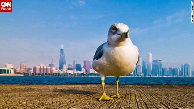 From this angle, this <a href='http://ireport.cnn.com/docs/DOC-800876'>seagull</a> looks like he owns Chicago.