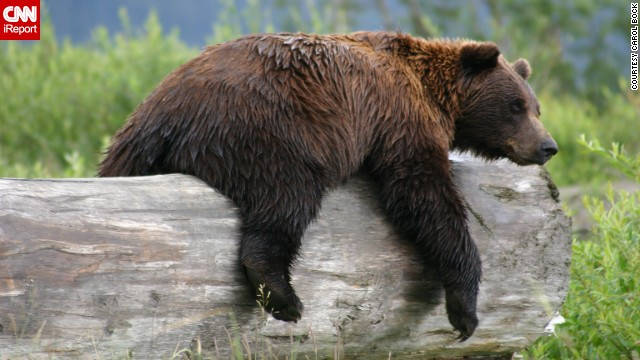 This <a href='http://ireport.cnn.com/docs/DOC-1120419'>grizzly bear</a> got a little tired from playing in a pond outside Anchorage, Alaska, and settled down on this log for a nap.