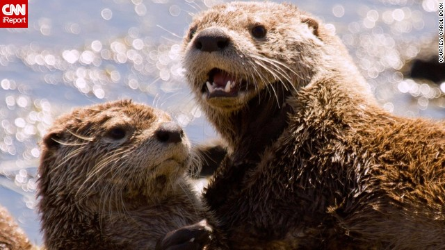 It's playtime for two <a href='http://ireport.cnn.com/docs/DOC-1137809'>otters</a> along a river bank in Yellowstone National Park, Wyoming.