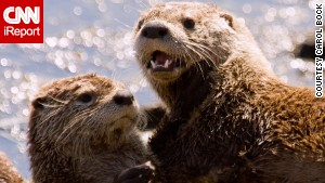 Otter populations have rebounded in Indiana, and it\'s now legal to hunt them again.