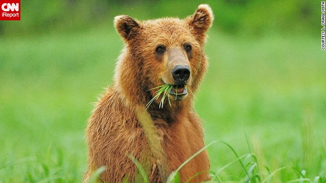 This <a href='http://ireport.cnn.com/docs/DOC-607693'>grizzly bear</a> on Alaska's Katmai Peninsula looks pleased with his snack.