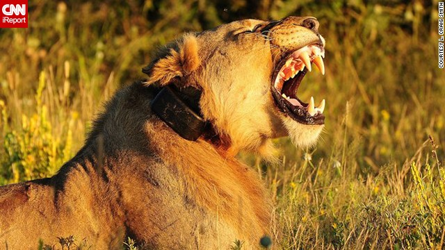 A Namibian <a href='http://ireport.cnn.com/docs/DOC-597392'>lion</a> lets out a roar.