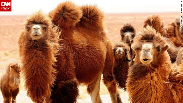 These Mongolian <a href='http://ireport.cnn.com/docs/DOC-655075'>camels</a> look perfectly happy to be having their picture taken. <!-- --> </br><!-- --> </br><strong>Click the double arrows below to see more amazing wildlife photos.</strong>
