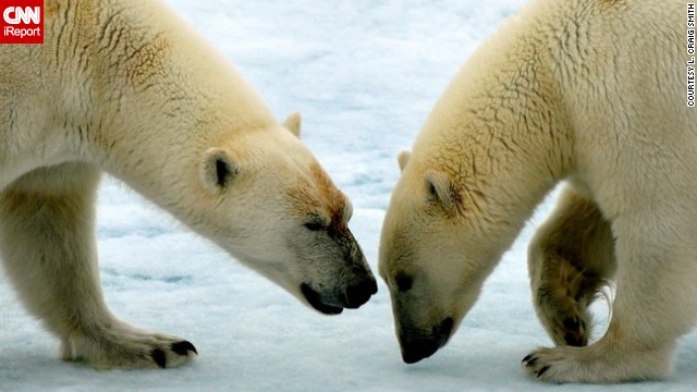 Two <a href='http://ireport.cnn.com/docs/DOC-604078'>polar bears</a> interact on a sheet of ice in Svalbard, Norway.
