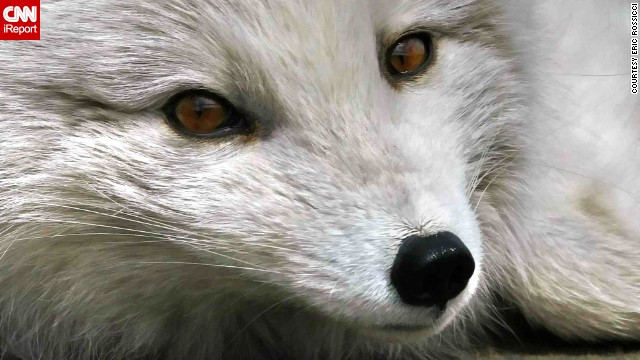 This ultraclose shot from Montreal, Canada, shows off the <a href='http://ireport.cnn.com/docs/DOC-795904'>Arctic fox's</a> eyes and expression.