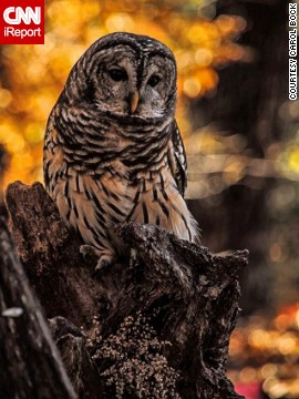 This <a href='http://ireport.cnn.com/docs/DOC-1065878'>barred owl</a> contrasts beautifully with the fall color behind him in Valley Park, Missouri.