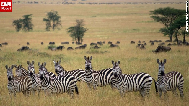 These <a href='http://ireport.cnn.com/docs/DOC-986561'>zebras</a> at Tanzania's Central Serengeti National Park seem as interested in the photographer as she was in them.