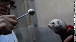 A priest in Madrid blesses a ferret at the blessing of the animals ceremony on St. Anthony\'s Day.