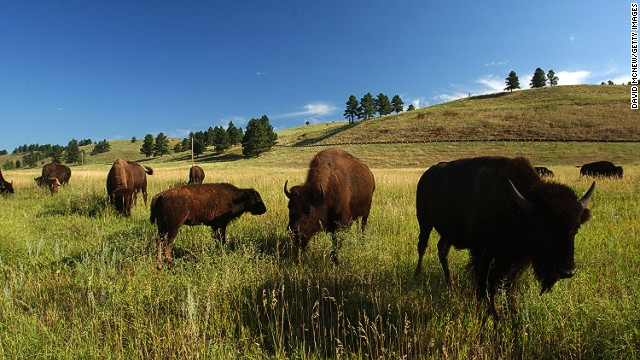Reintroduced after near-extinction at the turn of the last century, 1,300 bison -- possibly the world's largest publicly-owned herd -- now roam Custer State Park in South Dakota.
