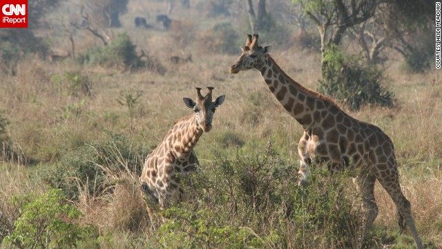 "<a href='http://ireport.cnn.com/docs/DOC-1139316'>Heidi Meadows</a> describes Uganda's <a href='http://www.murchisonfallsnationalpark.com/' target='_blank'>Murchison Falls National Park</a> as unspoiled. She says a ""must-do"" here is taking a ride down the Nile River. ""Seeing elephants, crocodiles and hippos from that vantage point is an unequaled experience,"" she says. The park is known for its diverse wildlife, which has started to recover from a massacre by poachers and troops under the rule of former Ugandan President Idi Amin."