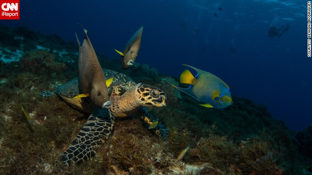 <a href='http://ireport.cnn.com/docs/DOC-1139050'>Three angelfish and a hawksbill sea turtle </a>make an odd team as they travel together in Cozumel, Mexico, a popular diving destination for underwater photographers.