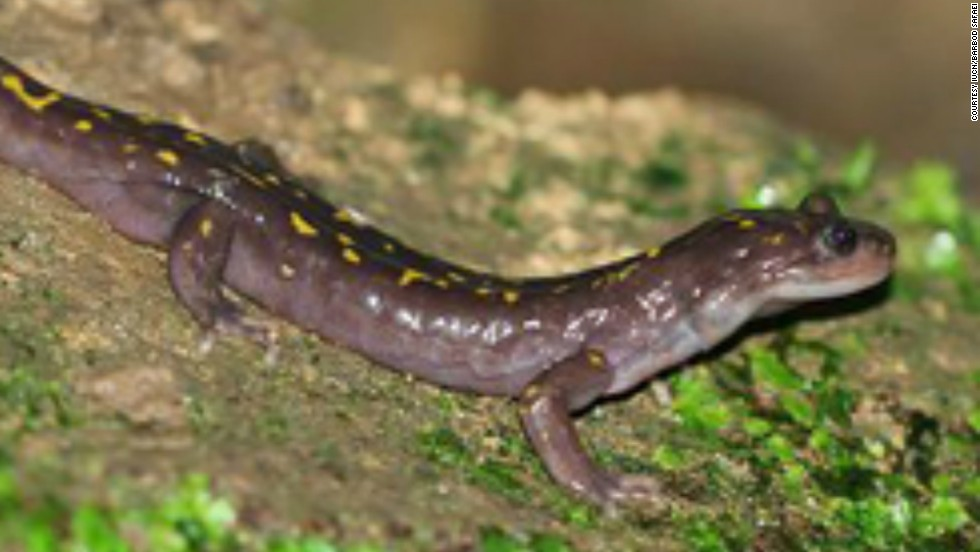 Listed as critically endangered since 2004, this tiny amphibian is only known to live in caves in Elburz Mountains of northern Iran. There are thought to be only 100 breeding pairs of adult Gorgan salamanders left in the wild and their numbers are decreasing.