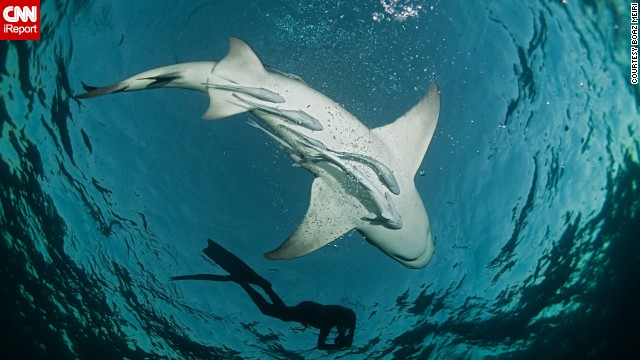 CNN iReporters shared their best photos from under the sea. Here, a diver swims with a lemon shark at <a href='http://ireport.cnn.com/docs/DOC-1140657'>Tiger Beach</a> in Nassau, Bahamas. This is a popular location for veteran divers looking to mingle with sharks without a cage.