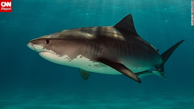 "Experienced diver <a href='http://ireport.cnn.com/docs/DOC-1140657'>Boaz Meiri</a> wishes more people would give sharks a break. ""Sharks are not what they remember from the movie 'Jaws,'"" he said. Meiri photographed a large female tiger shark 19 feet underwater at Tiger Beach in Nassau, Bahamas."