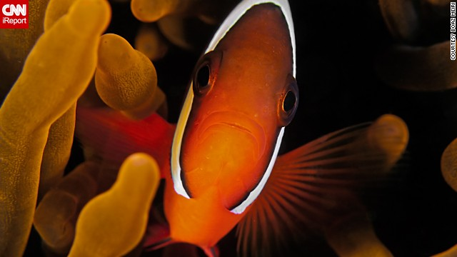 "<a href='http://ireport.cnn.com/docs/DOC-1140659'>Meiri</a> said, ""Look for the small details when you dive. There are a lot of hidden creatures in the oceans."" He captured this tomato clown fish in 2011 during a dive in Dauin, Philippines."