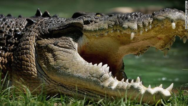 Hallan restos humanos en cocodrilo tras un ataque fatal en Australia