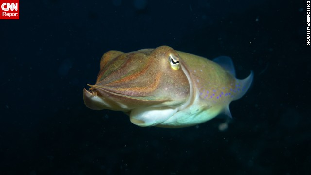 "<a href='http://ireport.cnn.com/docs/DOC-1140746'>Tom Logston</a> said, ""Every dive is a new adventure."" Logston photographed this cuttlefish during a dive in the Bismarck Sea off Papua New Guinea. He's been diving since the '70s and was inspired by the exploration of Jacques Cousteau."