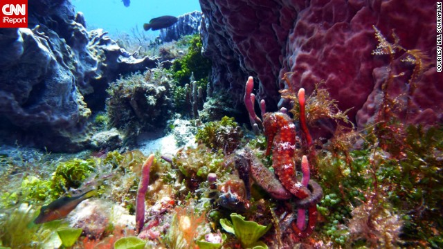 Can you spot the two seahorses embracing in this seahorse garden? <a href='http://ireport.cnn.com/docs/DOC-1141149'>Bill Schwamle</a> did in Cozumel, Mexico.<!-- --> </br><!-- --> </br>Click the double arrow to see more underwater photos.