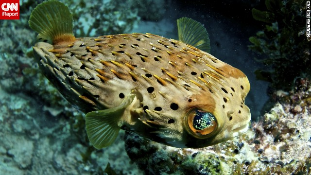 "Fish, who captured this <a href='http://ireport.cnn.com/docs/DOC-1142461'>puffer fish</a> in Islamorada, Florida, said, ""Get a few dives under your belt. Be sure you have good (or great) buoyancy control before doing anything."""