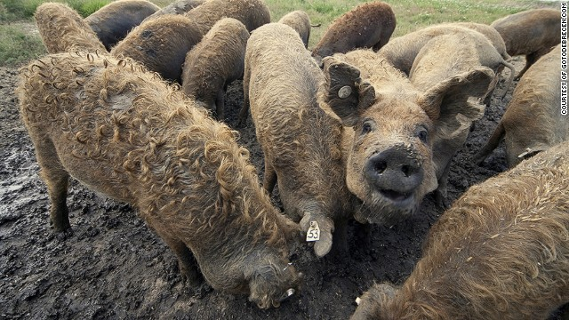 "These hairy porkers are just one of many ""curly"" local breeds. Hungarians are known for their love of frizzy animals. Pigeons, geese and dogs have all been given the perm treatment through selective breeding."