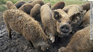 Curly-haired Mangalica pigs.