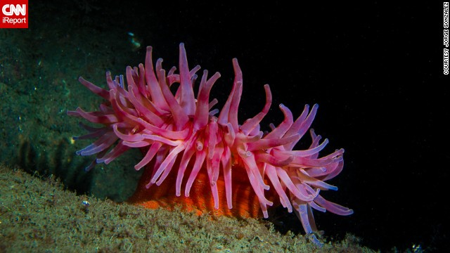 A colorful <a href='http://ireport.cnn.com/docs/DOC-1141709'>Northern Anemone</a> in the waters off of Gloucester, Massachusetts, waits to stun its prey with its stinging tentacles.