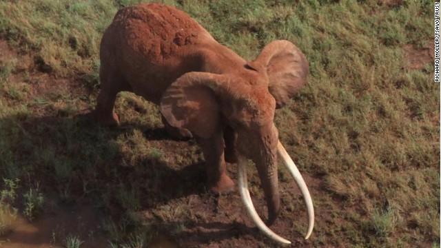 Cazadores matan a Satao, el elefante más querido de Kenya