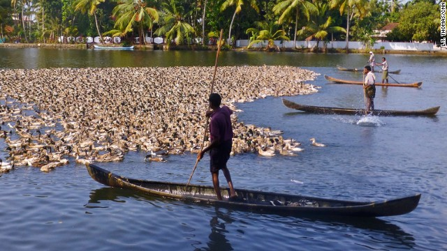 Forget the farmhouse. Duck farmers in Kerala need to be afloat to tend to their flocks.