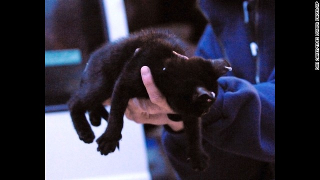 """In a December 2008 photo, an SPCA attendant holds a kitten taken from a Pennsylvania home. A groomer was prosecuted for marketing """"Gothic kittens"""" -- with ear, neck and tail piercings -- over the Internet."""