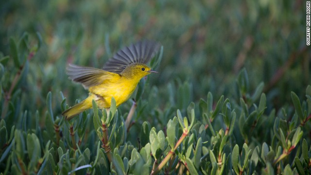 A yellow warbler lights up vegetation on Goat Island in Portland Bight Protected Area, Jamaica.