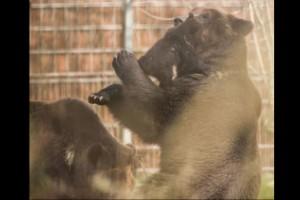 Sacrifican a un oso bebé