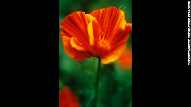 California: California Poppy