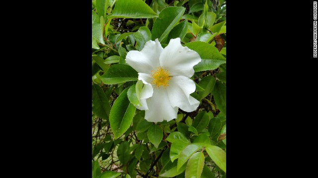 Georgia: Cherokee Rose