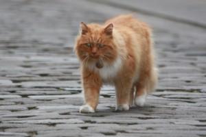 Hamish McHamish el gato (St. Andrews, Escocia)
