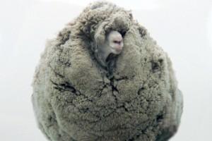 Shrek, la oveja (Tarras, Nueva Zelanda)
