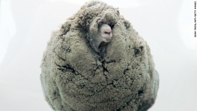 Shrek, a merino sheep from the small New Zealand farming settlement of Tarras, gained a fan following in 2004 after word got out he'd avoided grooming for six years by hiding in a cave.