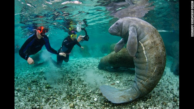 Snorkelers approach a Florida manatee in Crystal River, Florida.