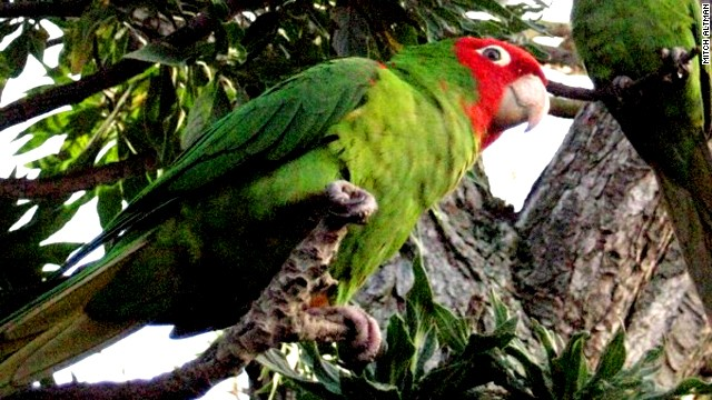 A pandemonium of approximately 200 conure parrots reside in a park in the San Francisco neighborhood of Telegraph Hill, far from their native home in South America. They have their own fan club and are written about in many travel guides.