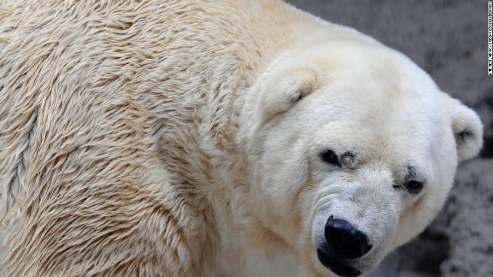 """Arturo, el oso polar """"deprimido"""""""