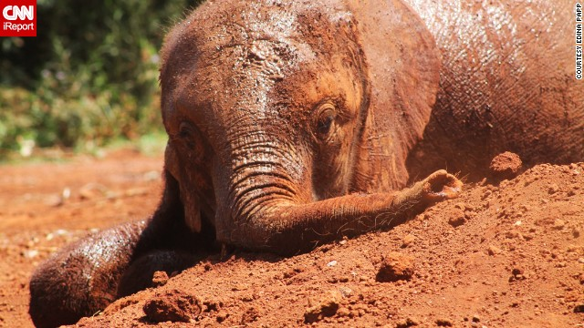 "An elephant relaxes in the mud and dirt at the David Sheldrick Wildlife Trust, an elephant orphanage in Nairobi, Kenya. Visitor Edina Papp says that tourists, too, ""will be covered with some mud or sand by the end"" as the animals play."
