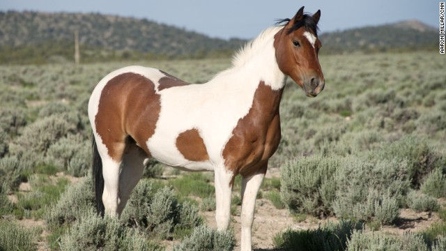 About 600 wild horses currently roam freely in a 4,000-acre enclave on the ranch.